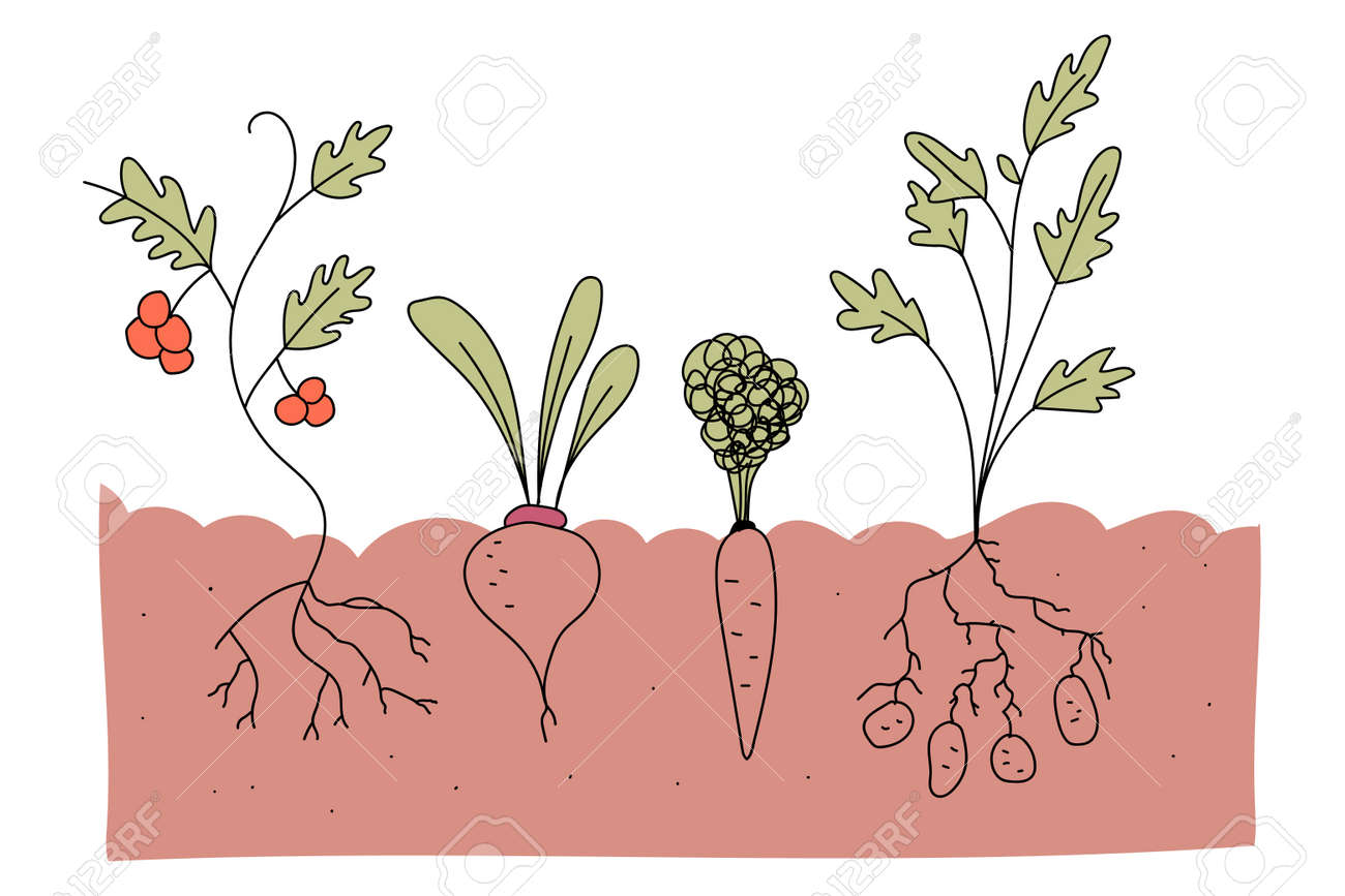 Vegetable plot with tomato, beetroot, carrot and potato vector cartoon illustration isolated on a white background. - 170643566