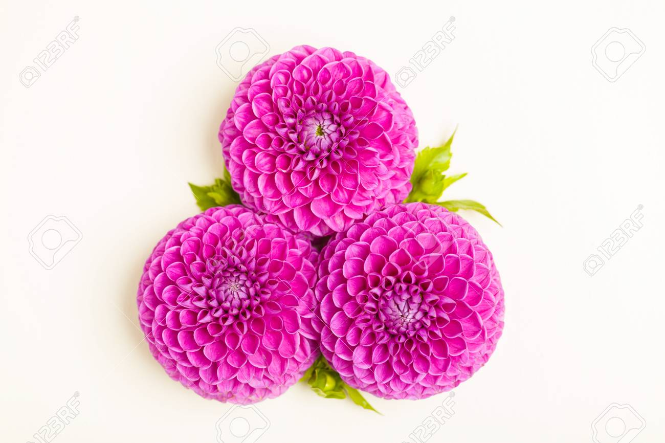 Dahlia ball barbarry flowers with green leaves and buds top dahlia ball barbarry flowers with green leaves and buds top view on pink bright izmirmasajfo