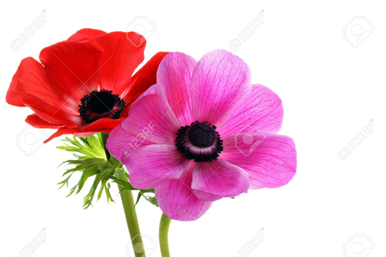 Two beautiful anemone flowers, one red and one pink, on a white background with copy space. - 7002833