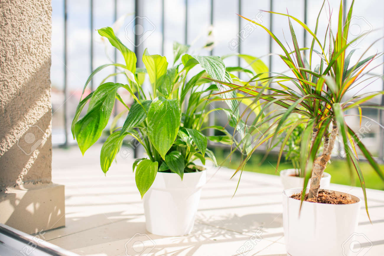 Balcony Plants In White Pots At Sunny Summer Day With Water Drops Stock Photo Picture And Royalty Free Image Image 146690767