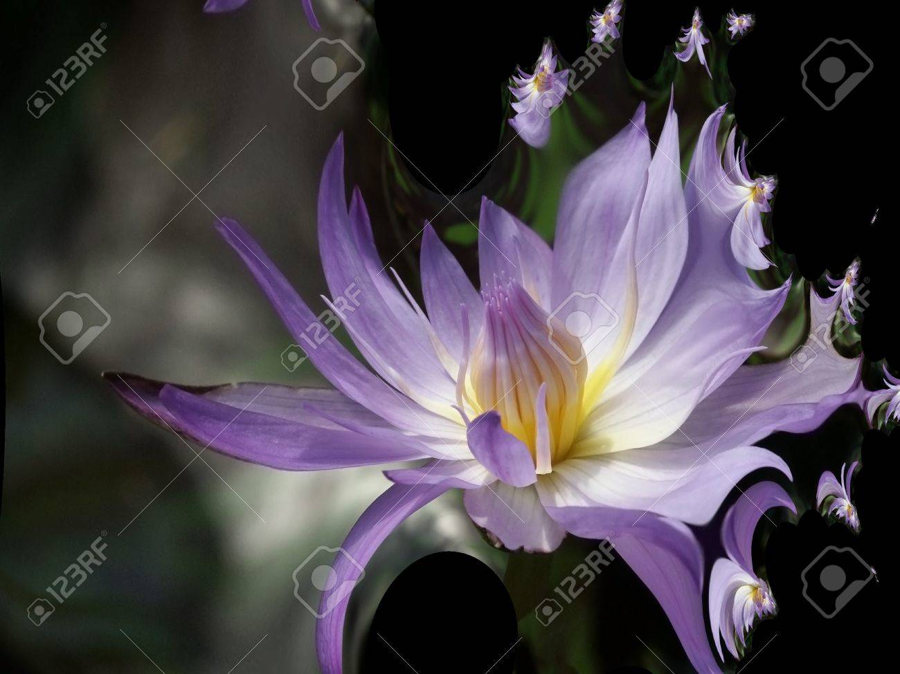 Magenta Waterlily Abstract Stock Photo - 10555762