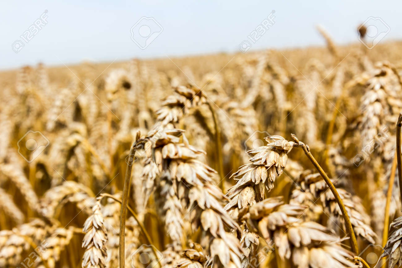 Field of mature wheat before starts harvest Stock Photo - 21061268