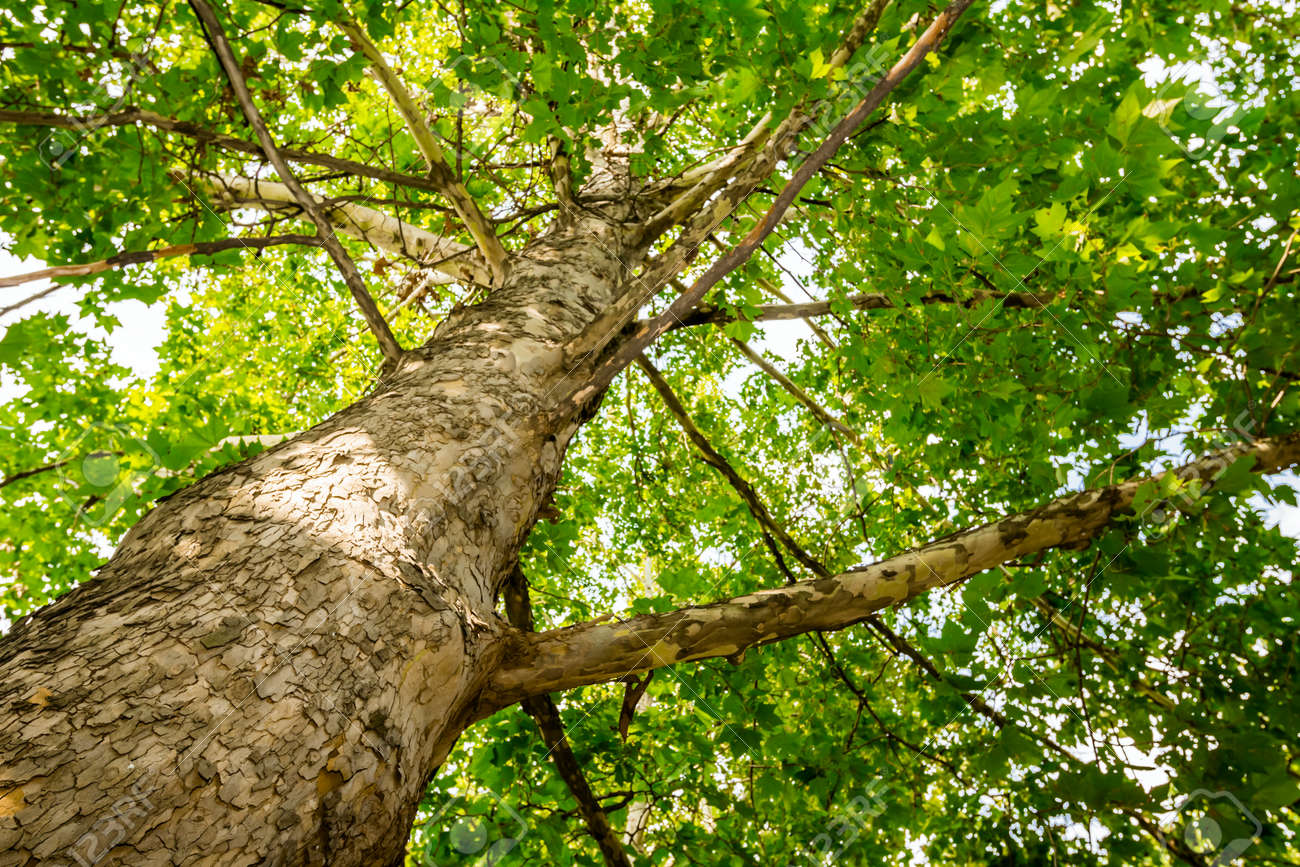 Look up on old following tree trunk to the top - 24549342