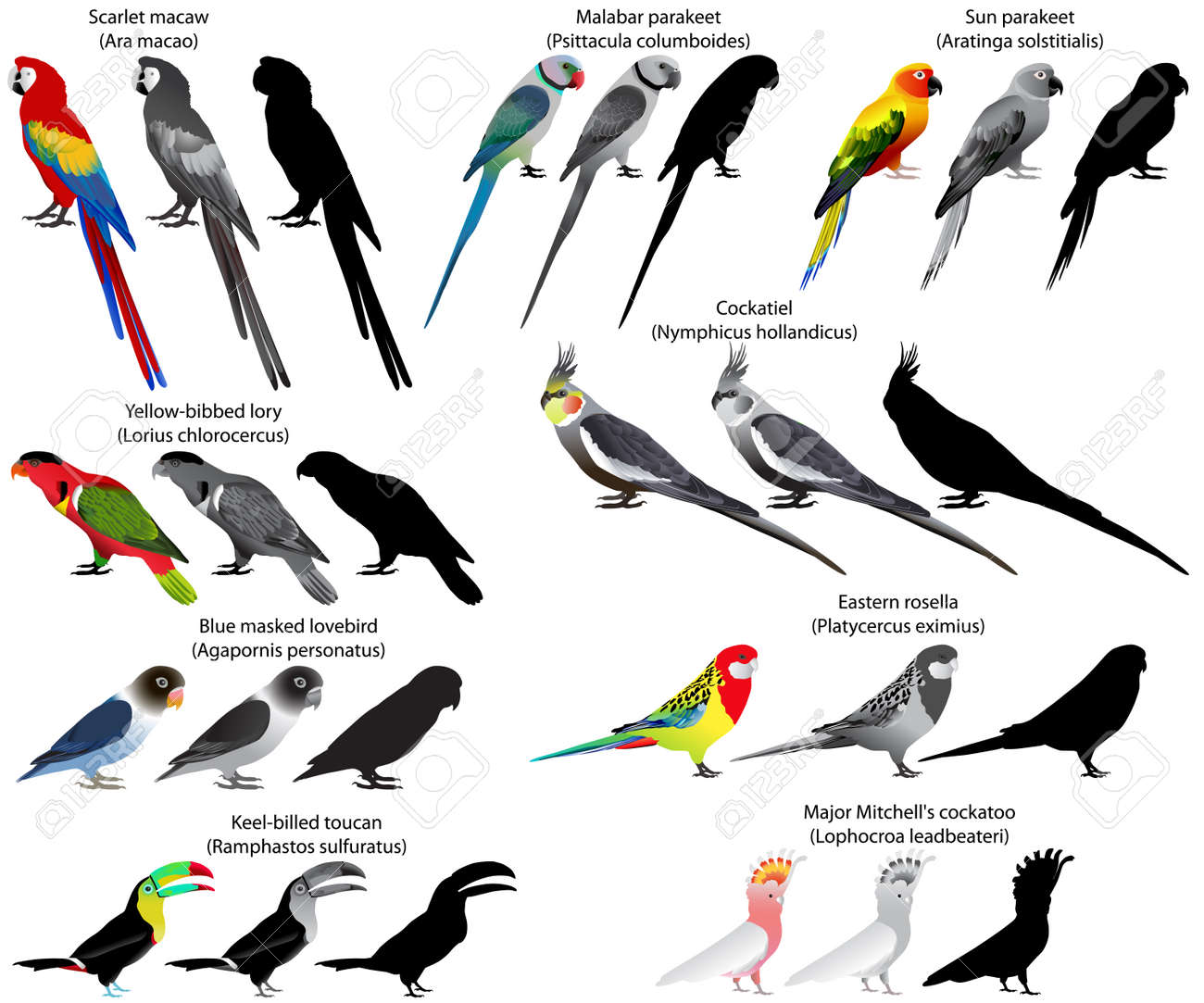 Collection Of Different Species Of Parrots Colour And Black And White Royalty Free Cliparts Vectors And Stock Illustration Image 57652122