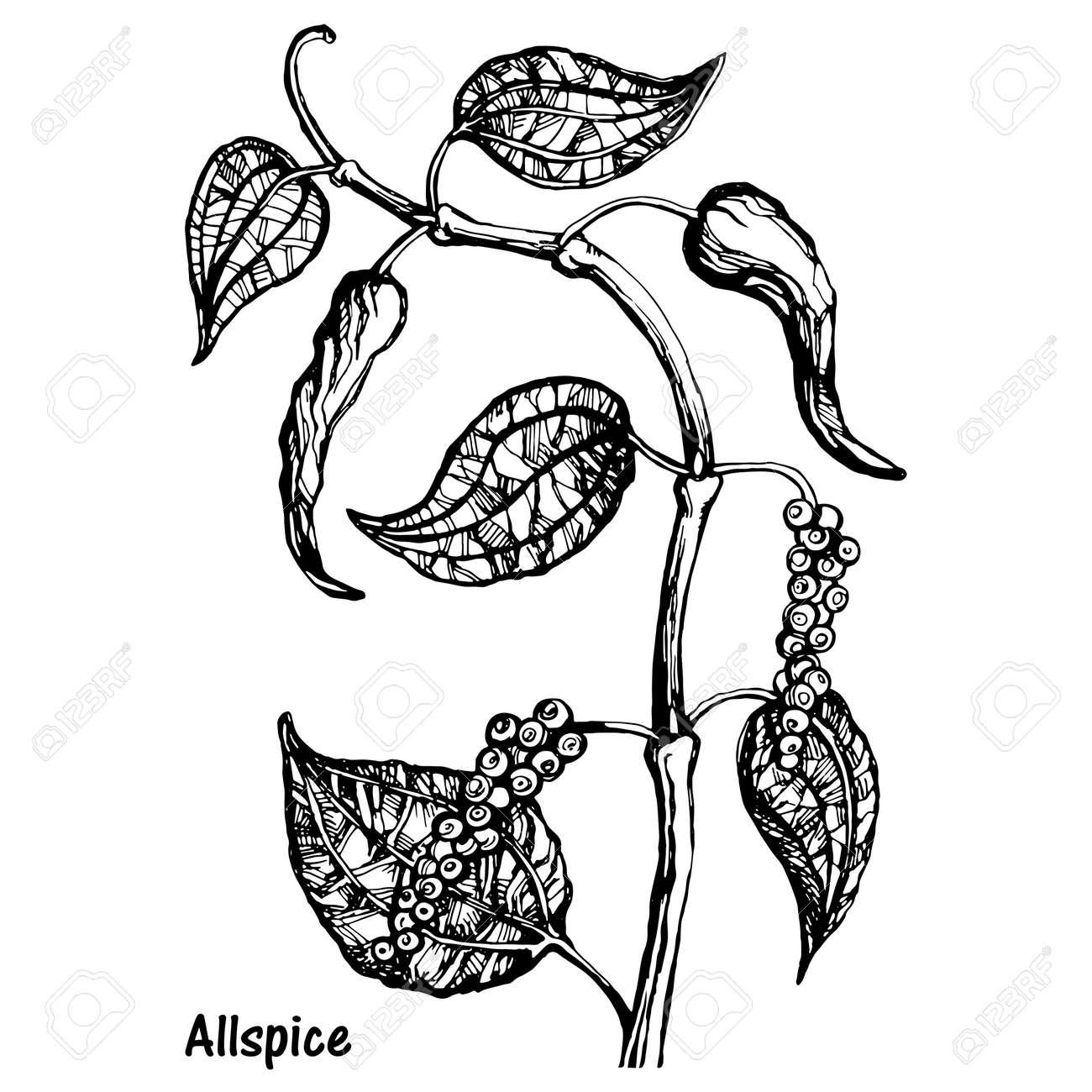 Natural allspice botanical hand drawn sketch vector - 132052869