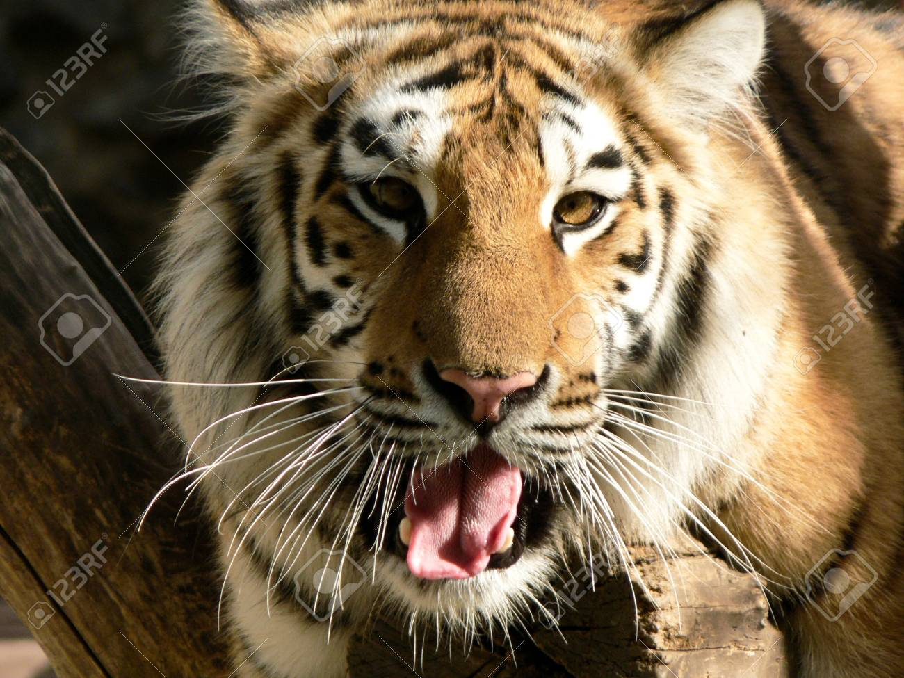 tiger on a branch with open mouth Stock Photo - 11065112