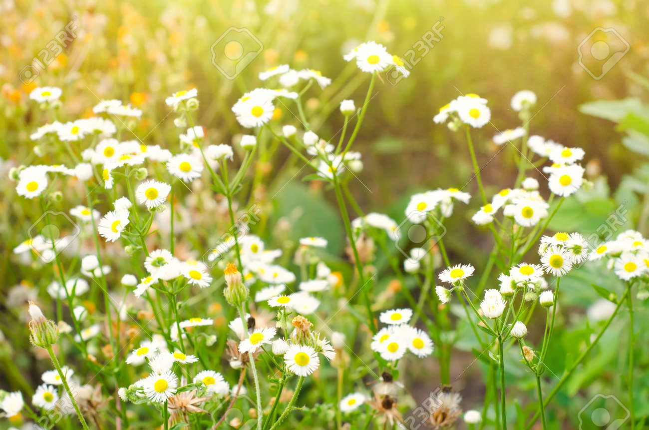 chamomile flowers on the meadow - 130559028