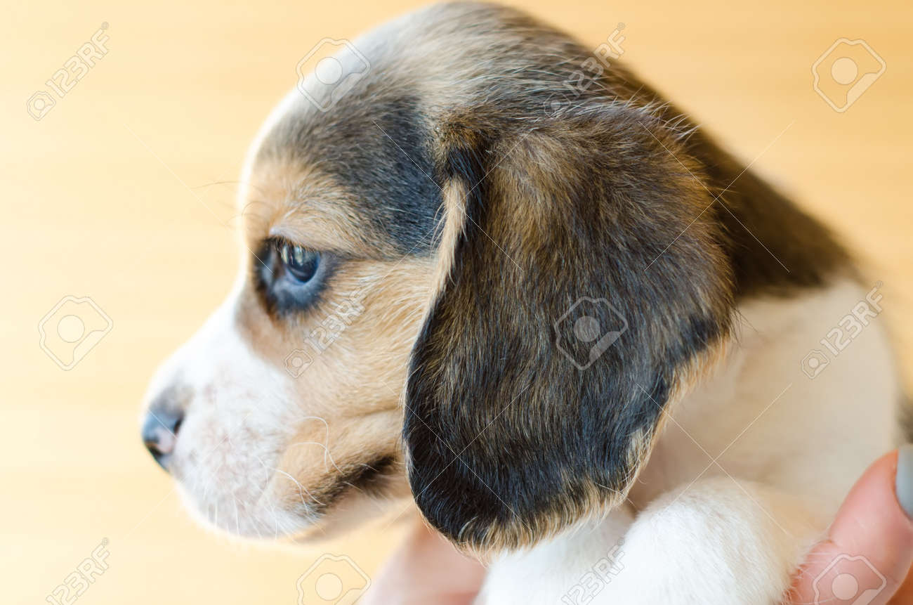 Cute Beagle Puppy Head Closeup Stock Photo Picture And Royalty Free Image Image 136156539