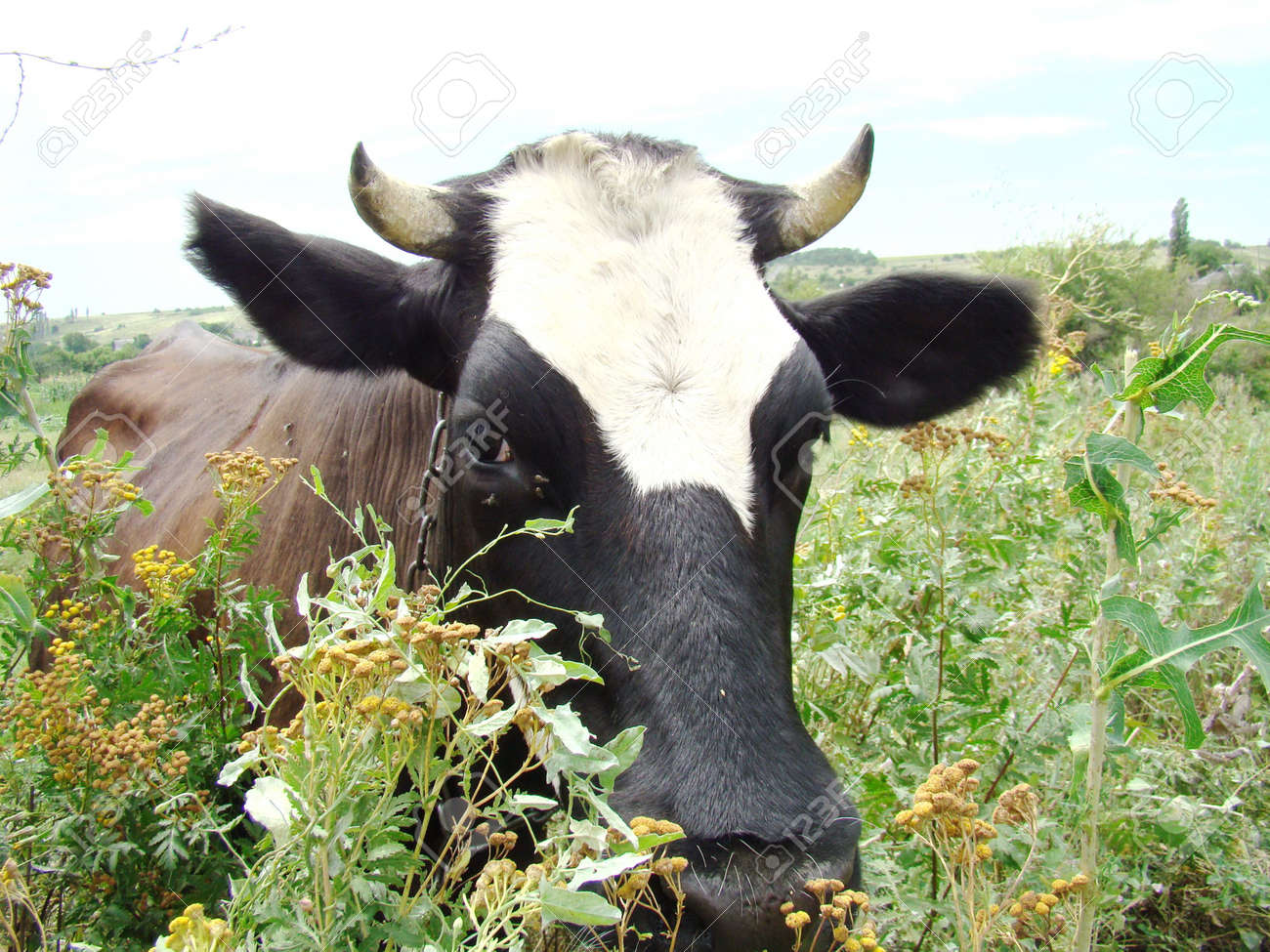 cow walks and grazes on the green summer pastures Stock Photo - 7668330