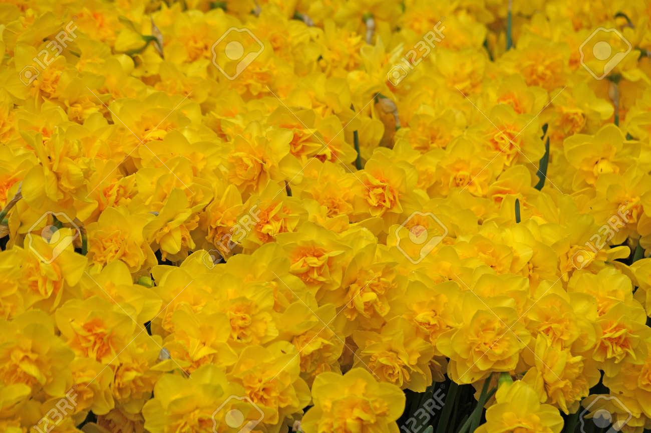 Los Narcisos Amarillos Florecen En Mayor Numero Temporada De - Narcisos-amarillos