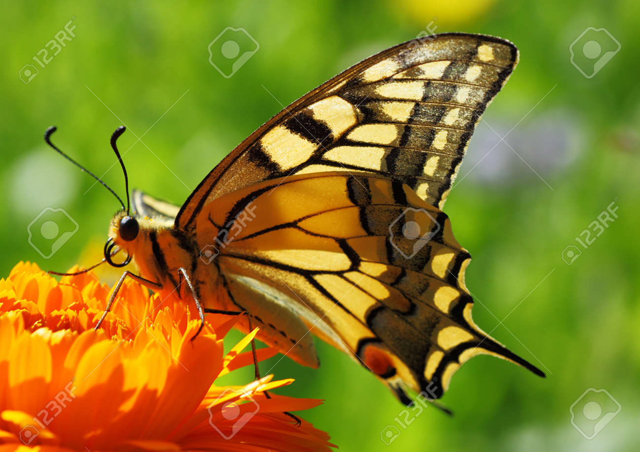 papilio machaon butterfly sitting on marigold flower stock photo