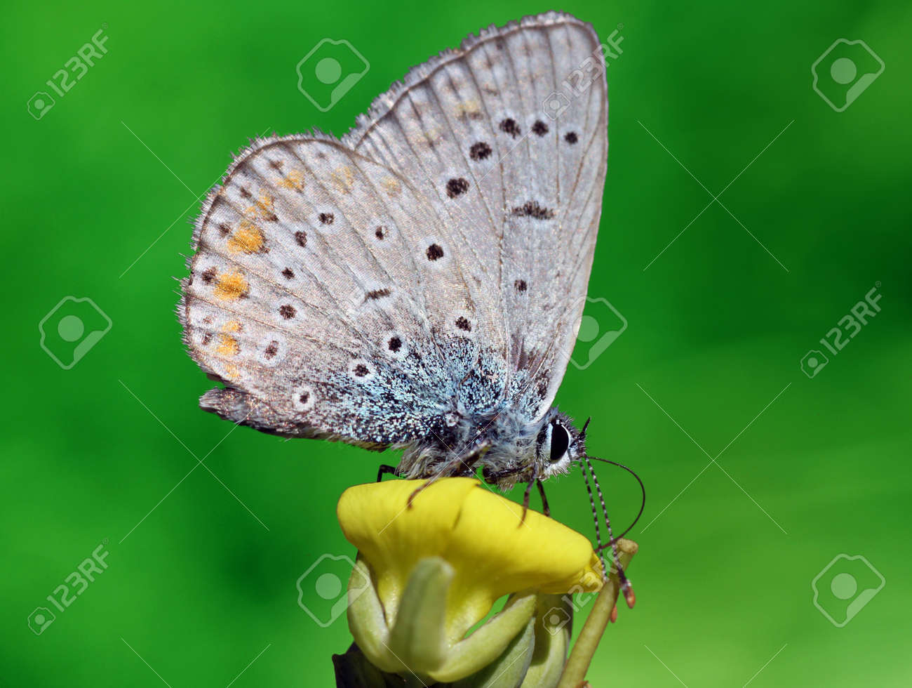 close up of lycaenidae butterfly on flower stock photo picture