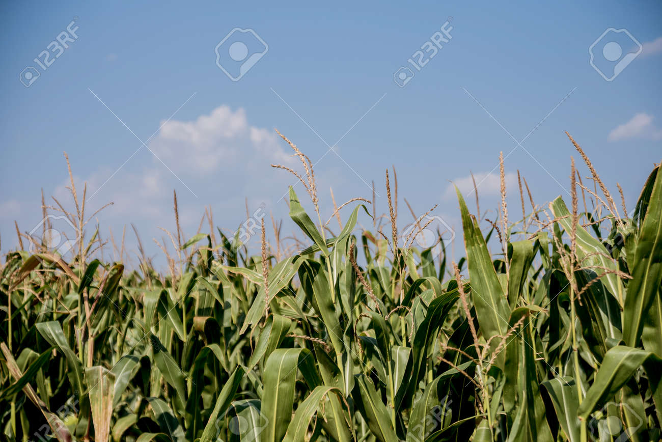 A big green field of corn and summer blue sky. Background - 139442668