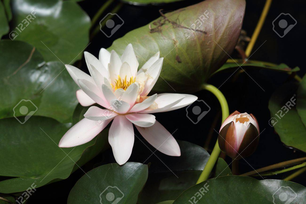 Lotus Stock Photo - 7515413