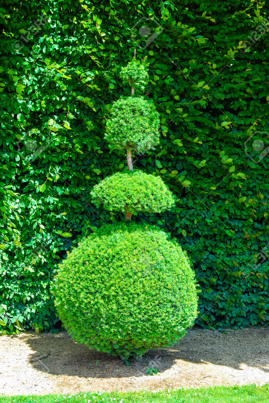 Stock Photo   Topiary Tree, Formal Garden, Figure Evergreen Bush