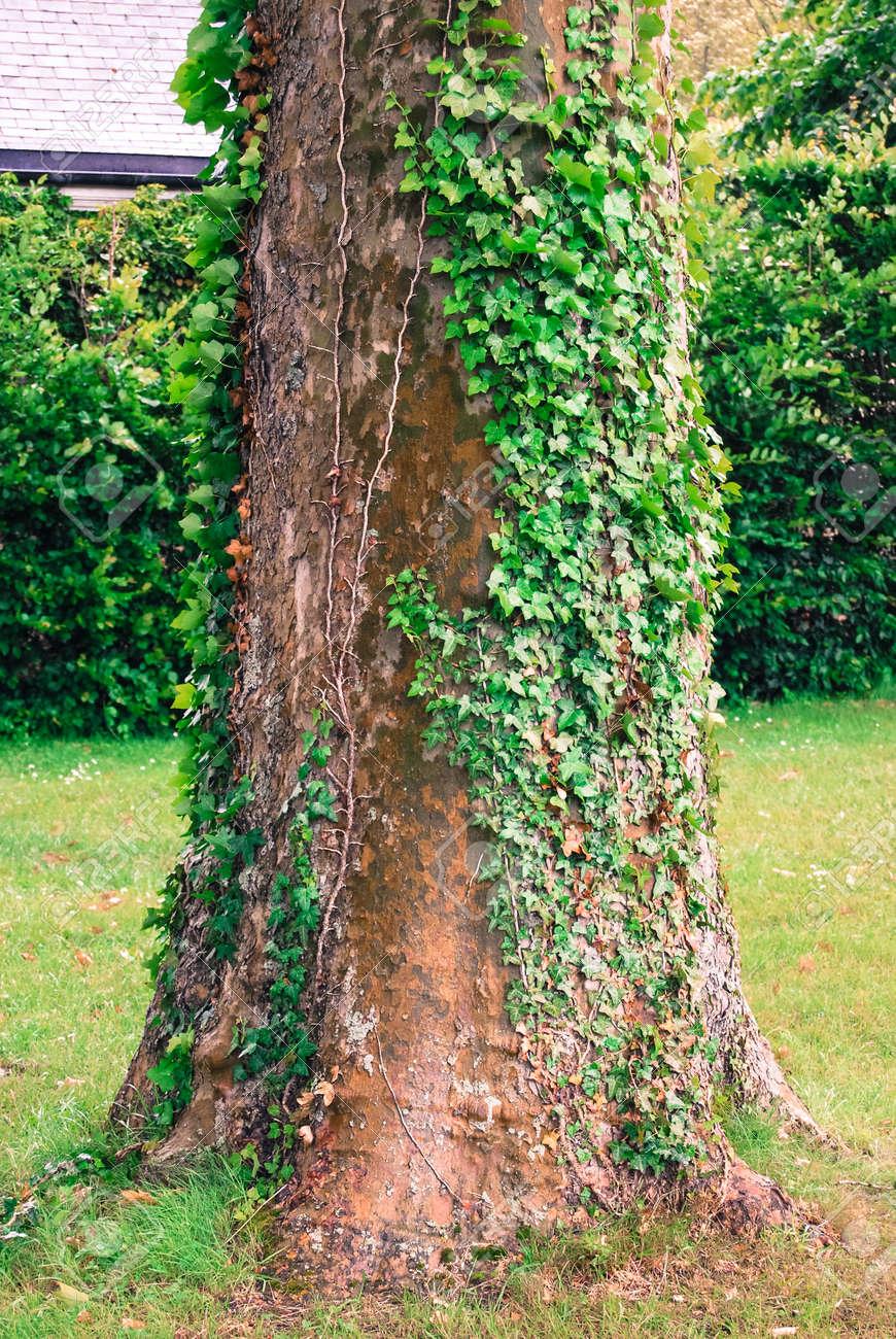 tronc d'arbre platane dans le jardin, recadrée banque d'images et