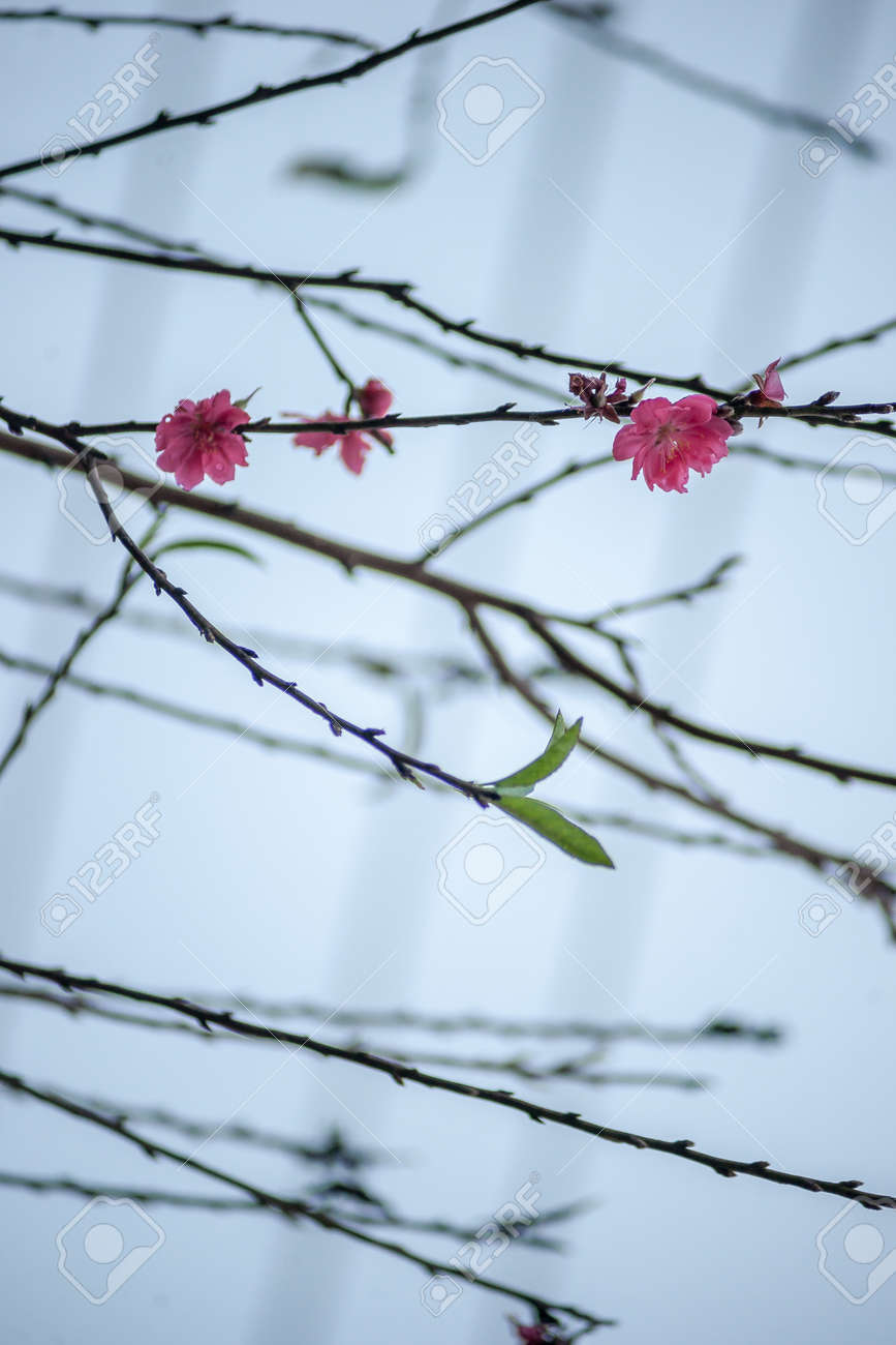 Flowers In Spring Plum Blossoming In Spring It Is The Only Stock