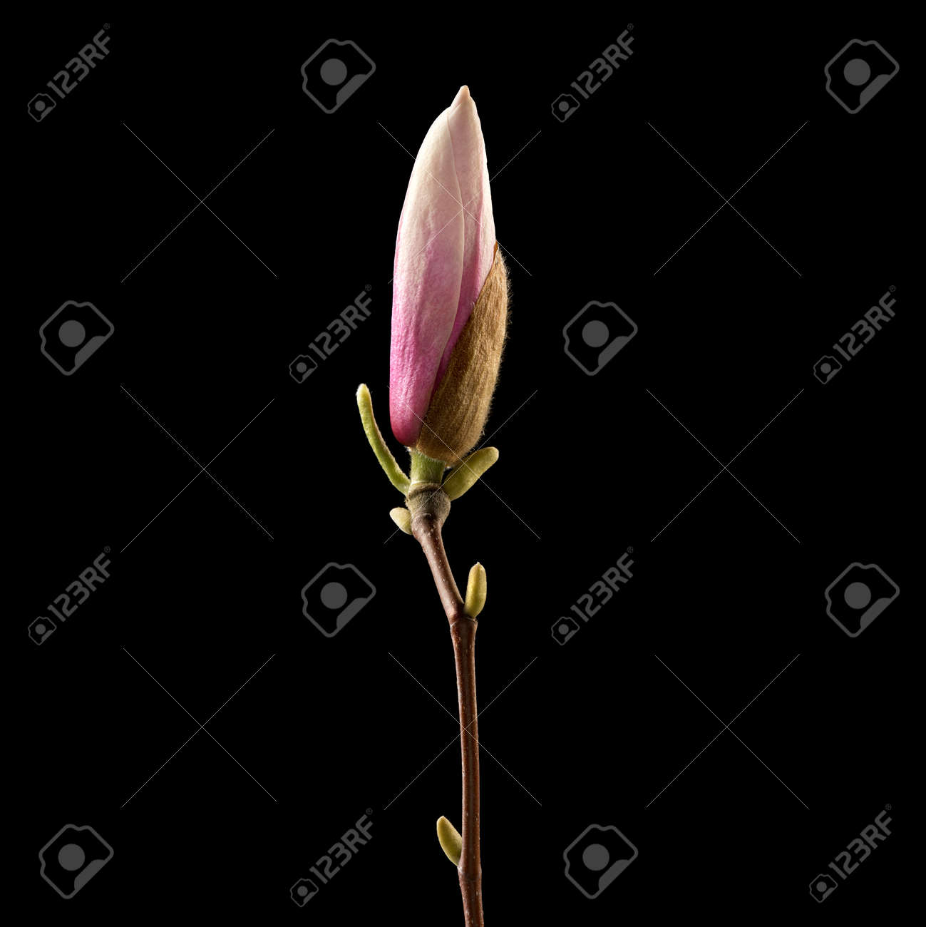 Magnolia Flower On Black Background Macro Nature High Resolution