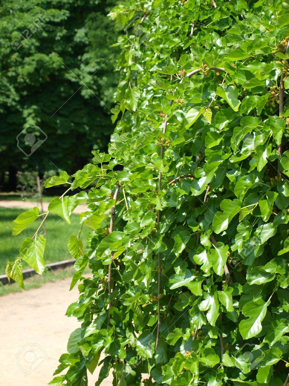 the leaves of mulberry tree in the park close to the background