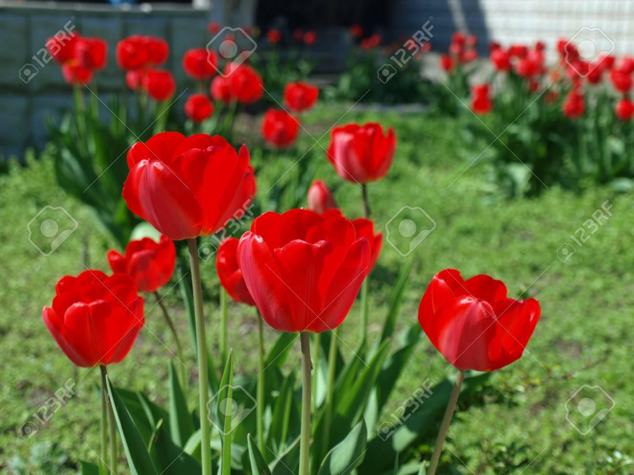 Tulipanes Rojos Brillantes Que Florecen En Una Cama En El Medio Del ...