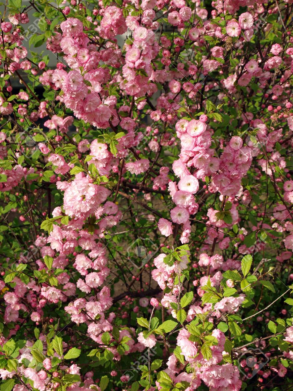 Spring Bush Completely Strewn With Pink Flowers Stock Photo Picture