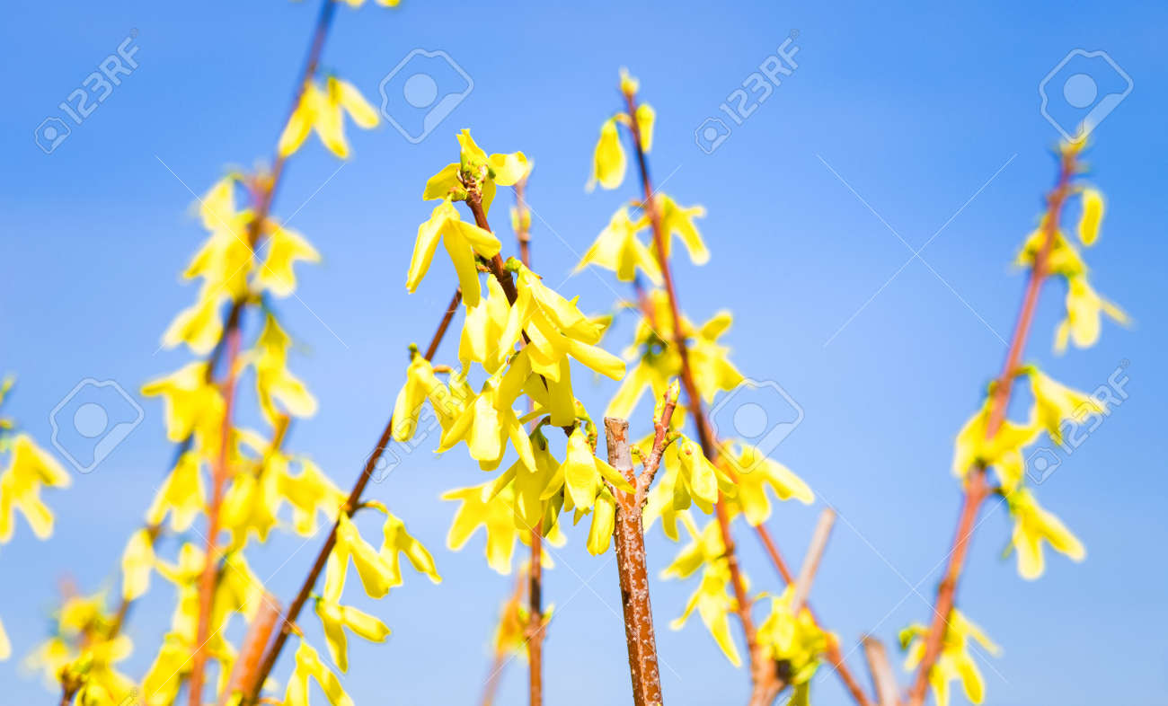 Forsythia Spring Flowers Background Stock Photo Picture And Royalty