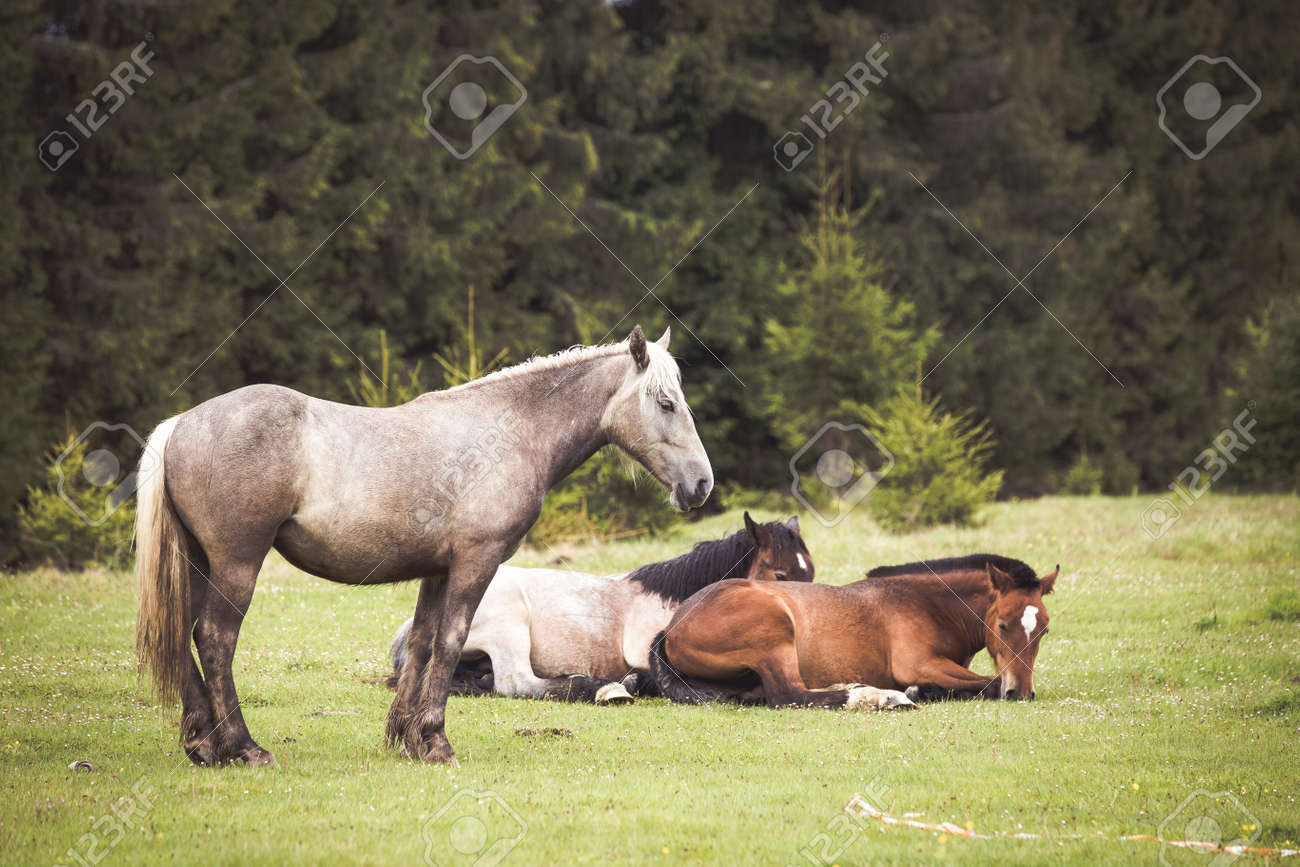 Wild Horses Running Free At The Mountains Stock Photo Picture And Royalty Free Image Image 148710455
