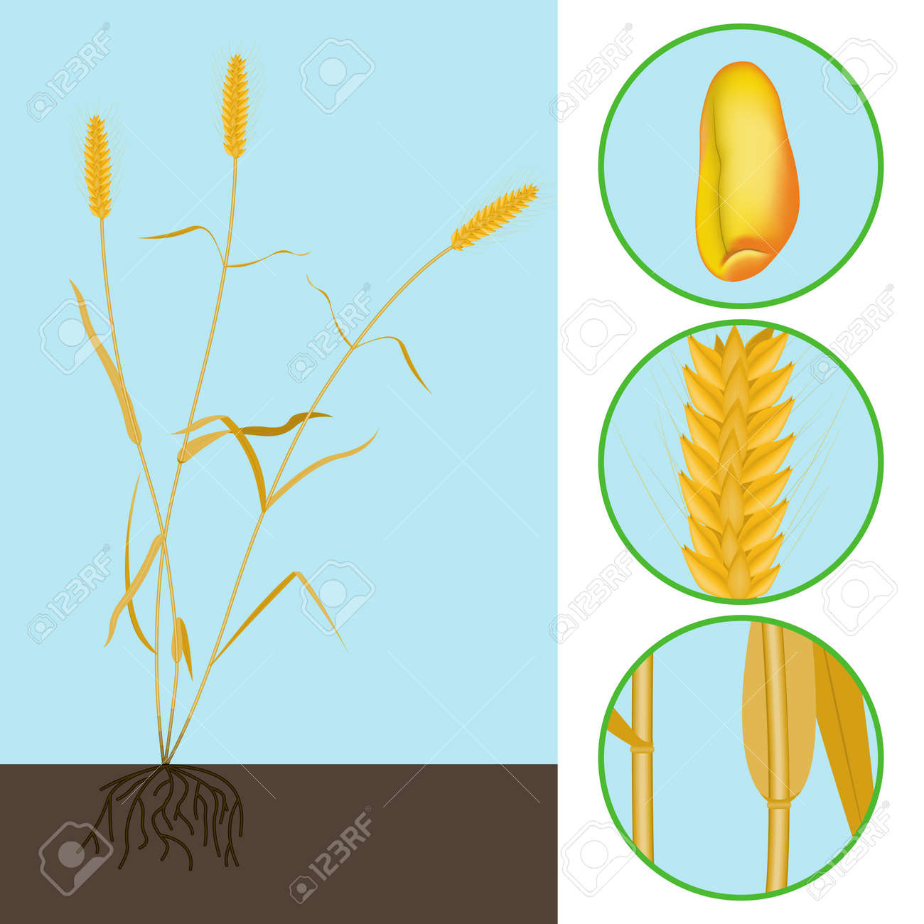 Parts of wheat grain best wheat 2017 diagram of a wheat grain identifying the main structural ponents ccuart Gallery