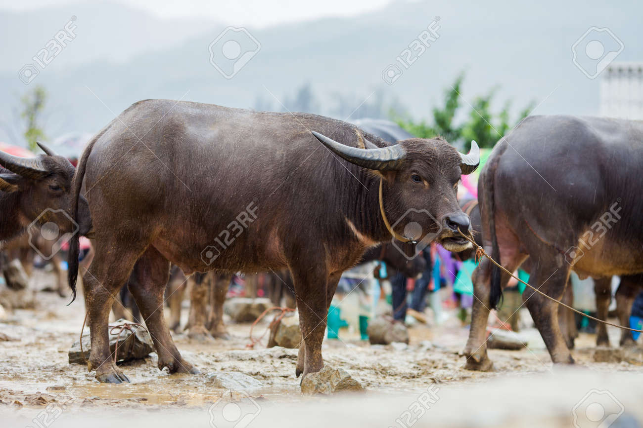 Buffalo For Sale >> Vietnamese Water Buffalo For Sale At Bac Ha Sunday Market In