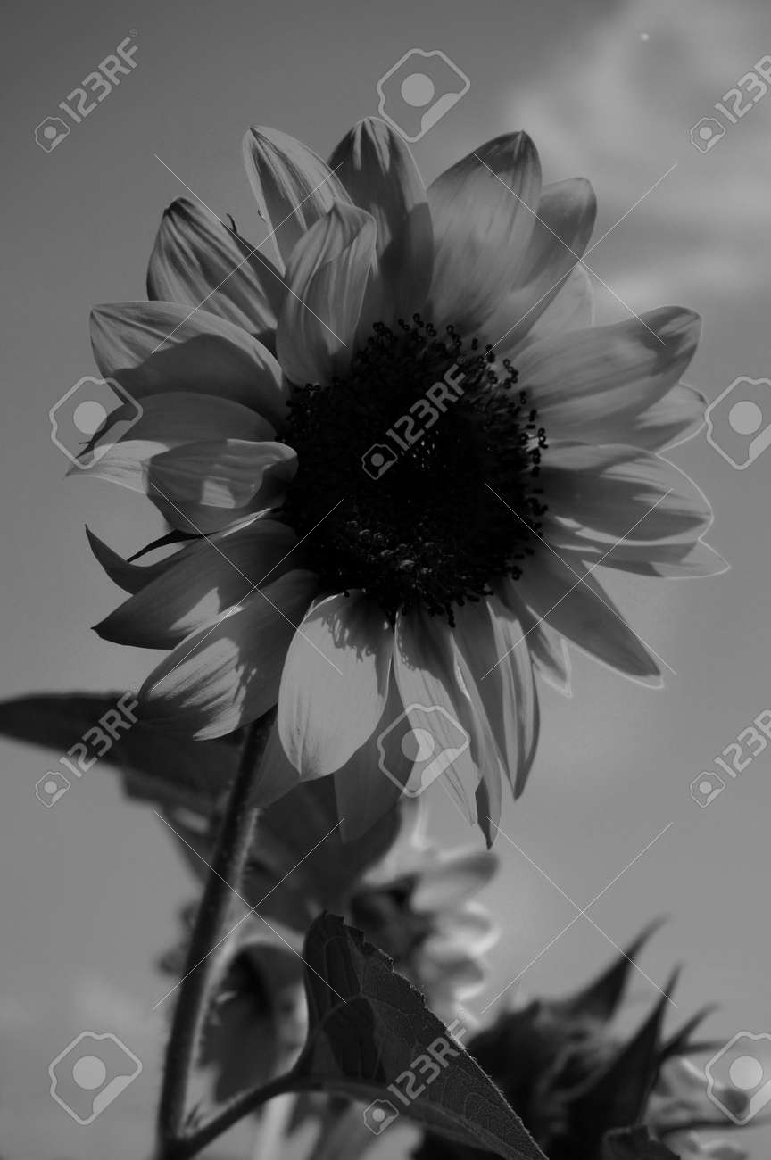 Girasoles En El Cielo Fotografías En Blanco Y Negro Fotos Retratos