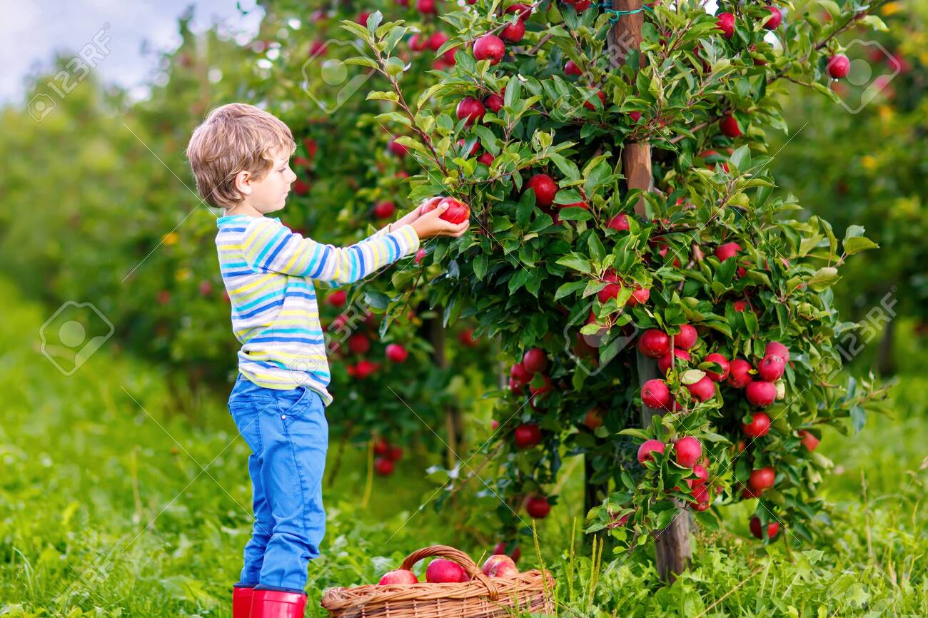 Active happy blond kid boy picking and eating red apples on organic farm, autumn outdoors. Funny little preschool child having fun with helping and harvesting. - 145083420