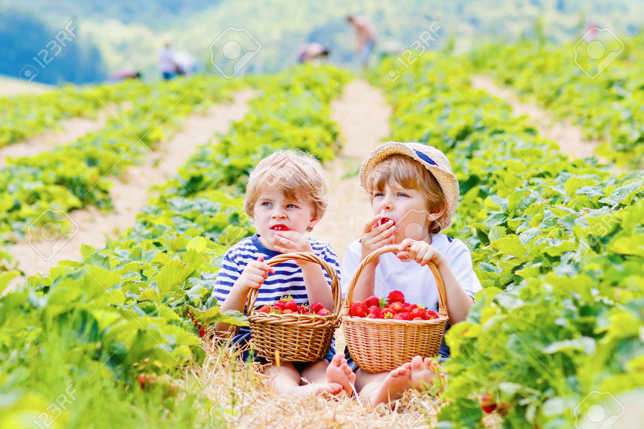 Two little sibling kids boys having fun on strawberry farm in summer. Children, cute twins eating healthy organic food, fresh berries as snack. Kids helping with harvest - 165413404
