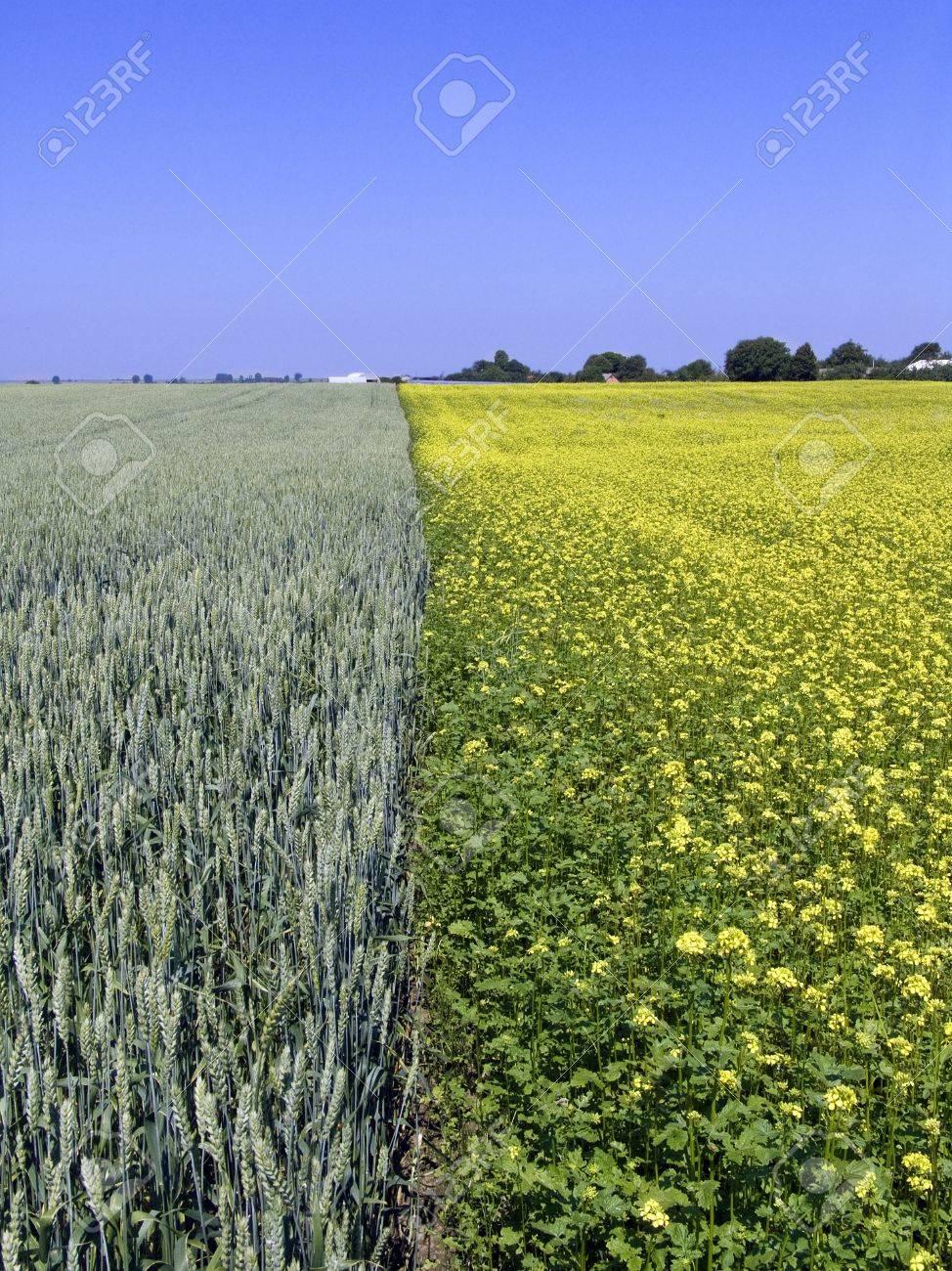 wheat and rape field Stock Photo - 14235855