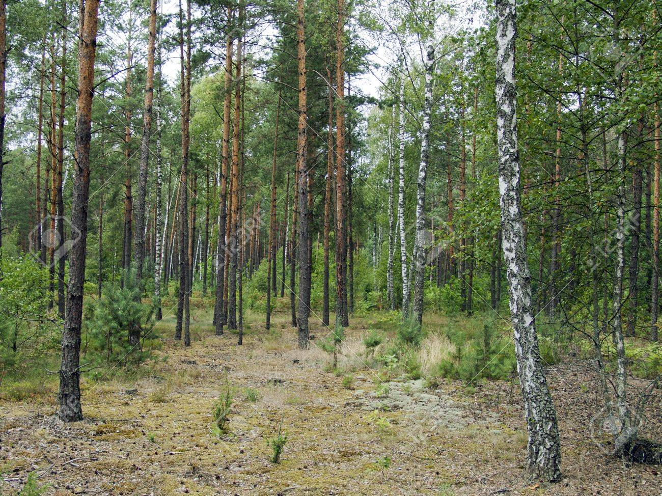 The mixed forest, birch and pine trees, beautiful wild nature landscape Stock Photo - 15652708