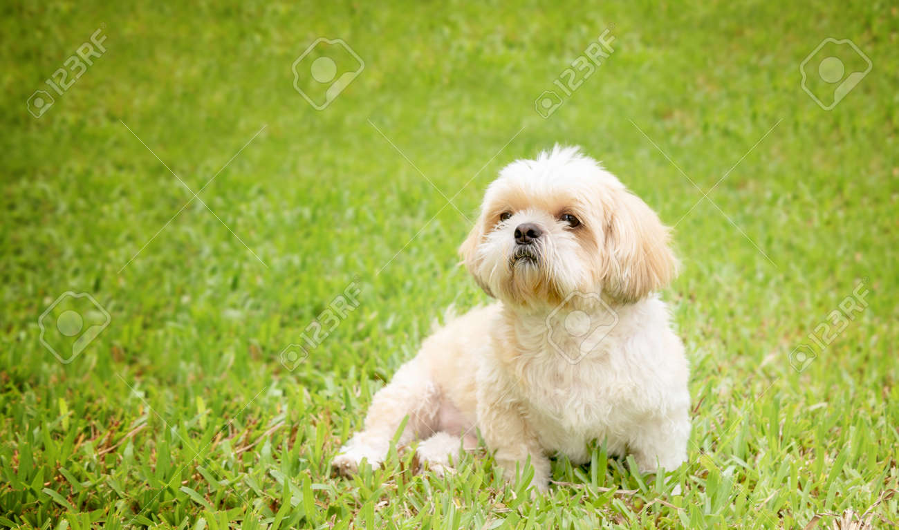 Small Dog Breeds Shih Tzu Brown Fur In Green Lawn And Were Seated Stock Photo Picture And Royalty Free Image Image 110673720