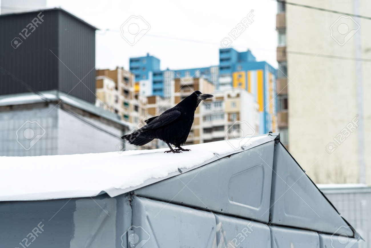Crow sitting on the roof in winter - 163754273