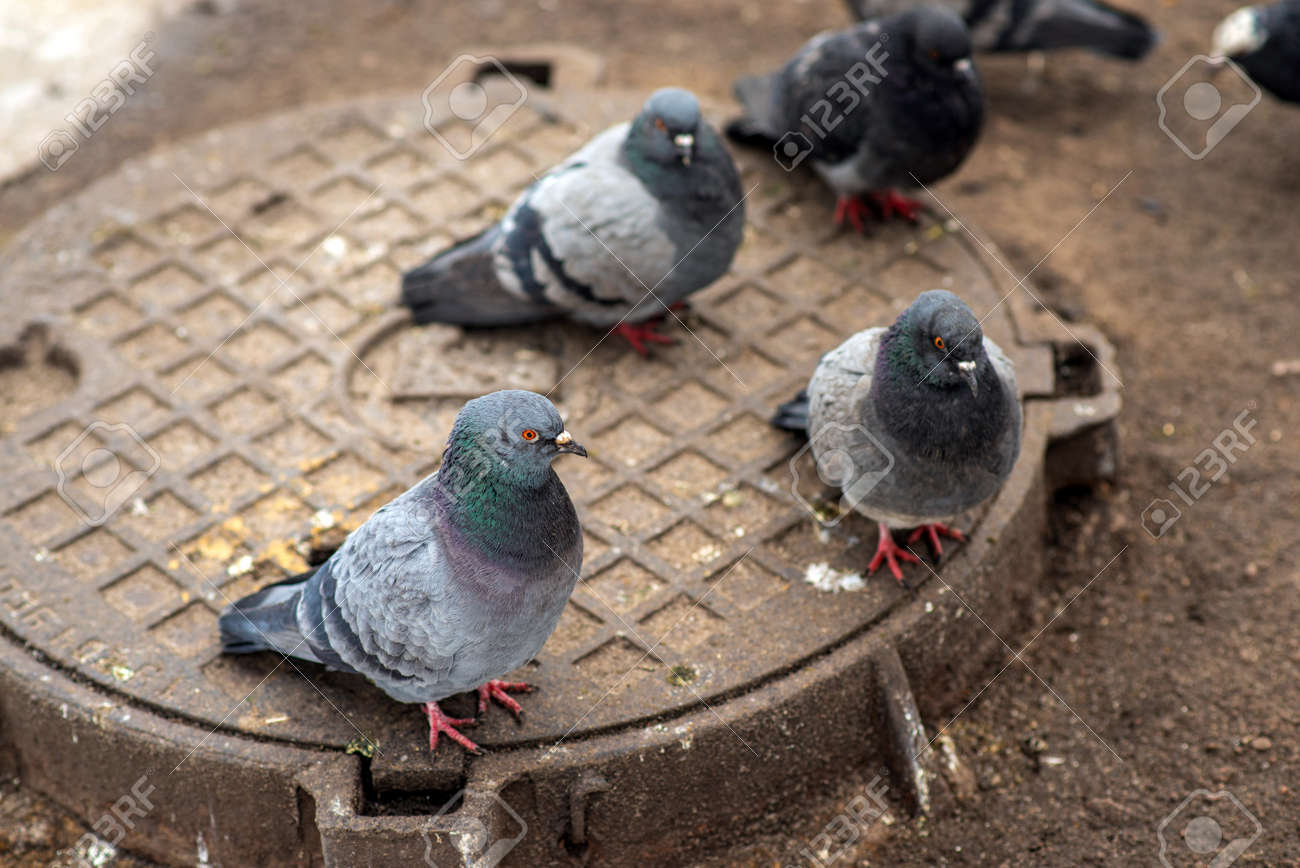 A gray wild pigeon warms up on a manhole in winter close-up. - 163754498