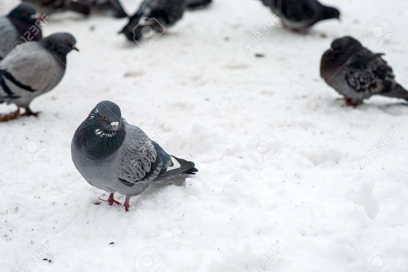 Pigeons sits on white snow in winter - 163918065
