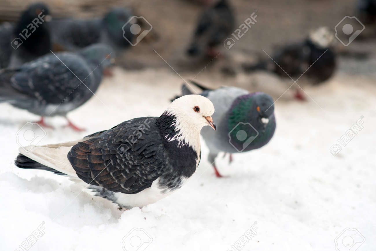 A flock of pigeons on snow, which is cold. - 163917713
