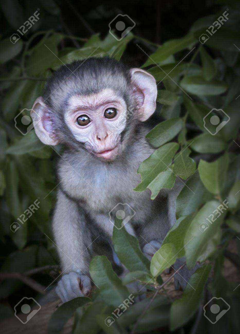 Fotografie Eines Vervet Affe-Baby In Einem Baum Ein Foto Von Einem ...