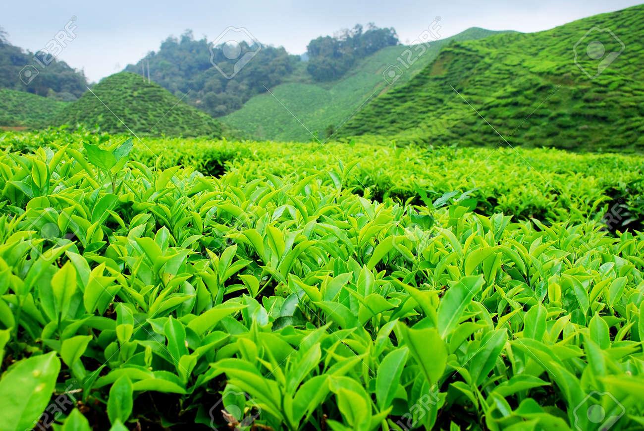 Cameron Highland Tea Plantation Stock Photo - 635946