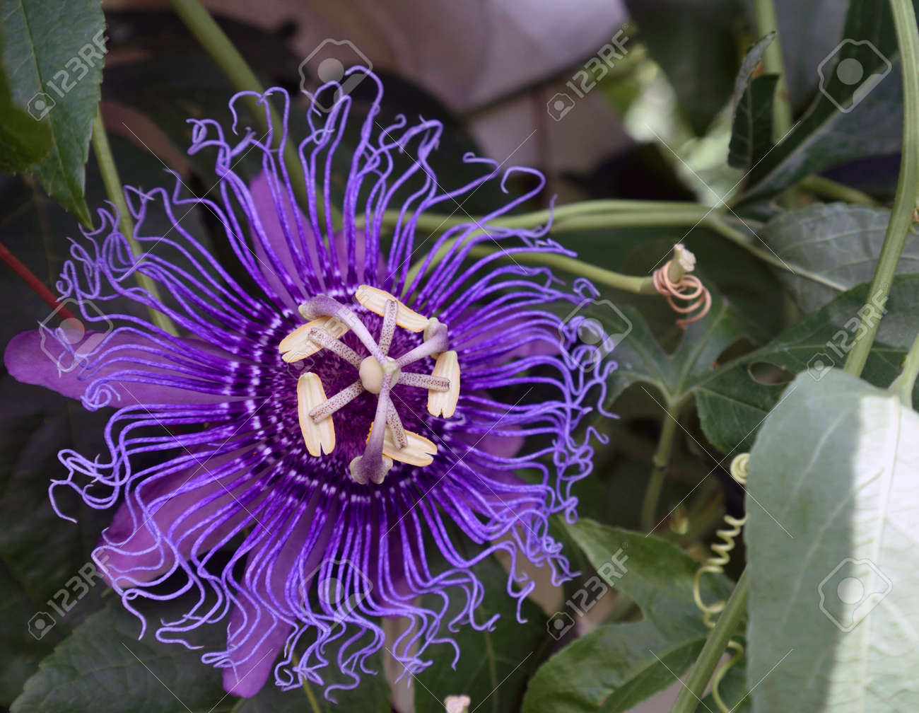 An Open Purple Passion Flower Stock Photo Picture And Royalty Free