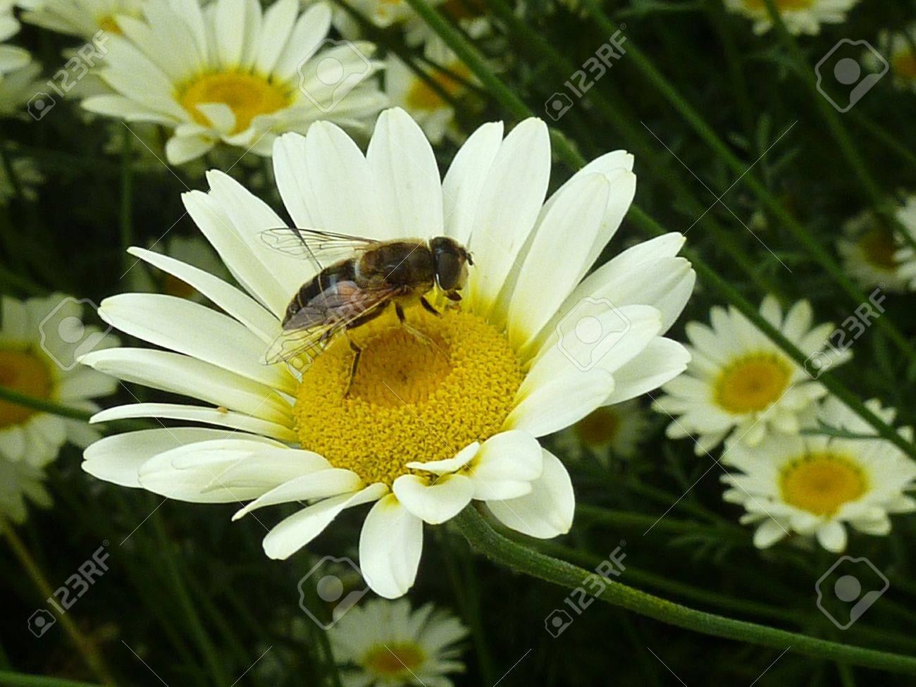 Closeup of bee pollinating daisy type flower stock photo picture closeup of bee pollinating daisy type flower stock photo 15207224 dhlflorist Images
