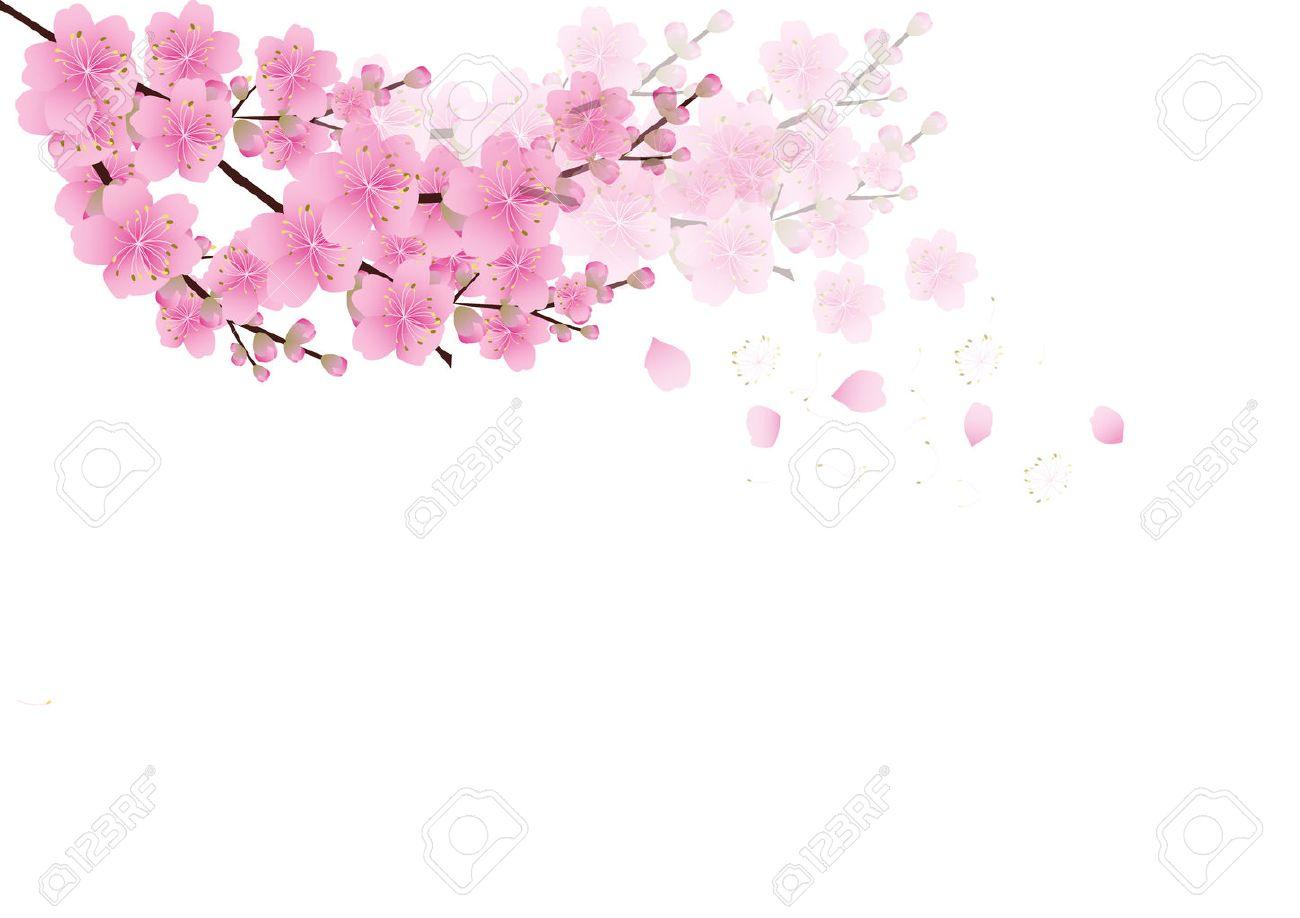 Sakura Fleurs De Fond Fleur De Cerisier Isol Fond Blanc Clip Art