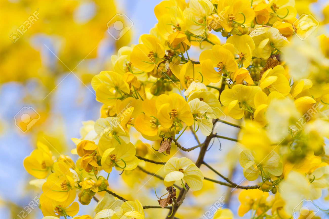 Fiori E Piante Commestibili albero cassod, cassia siamea o senna siamese è fiore giallo che è pianta  commestibile