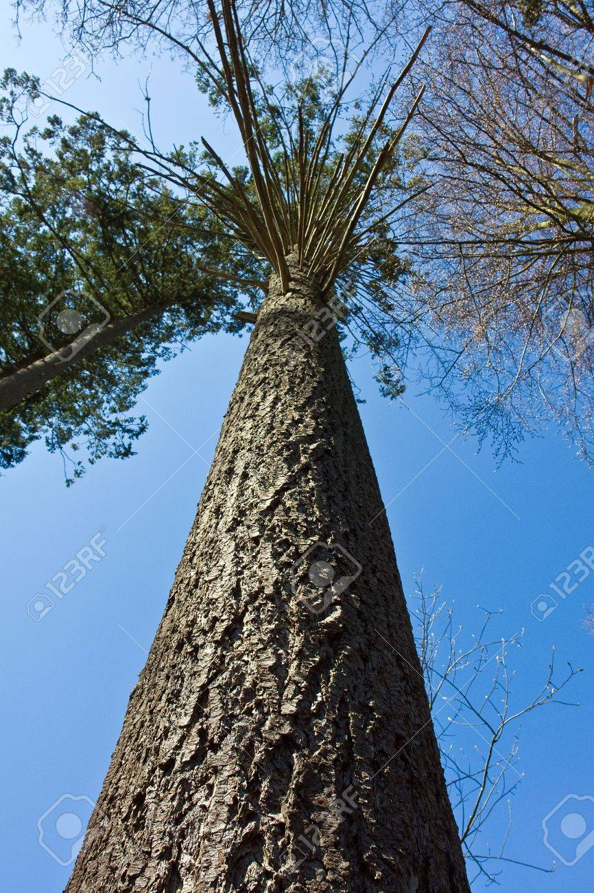 Tall Vertical Tree Outdoors Nature Forest With Clear Blue Sky ...