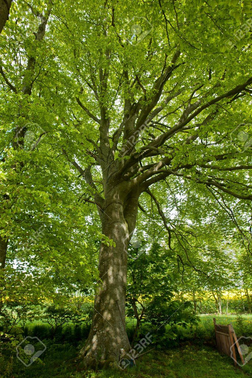 Beech Canopy Lush Green Leaves Tree View Perfect Nature Forest ...
