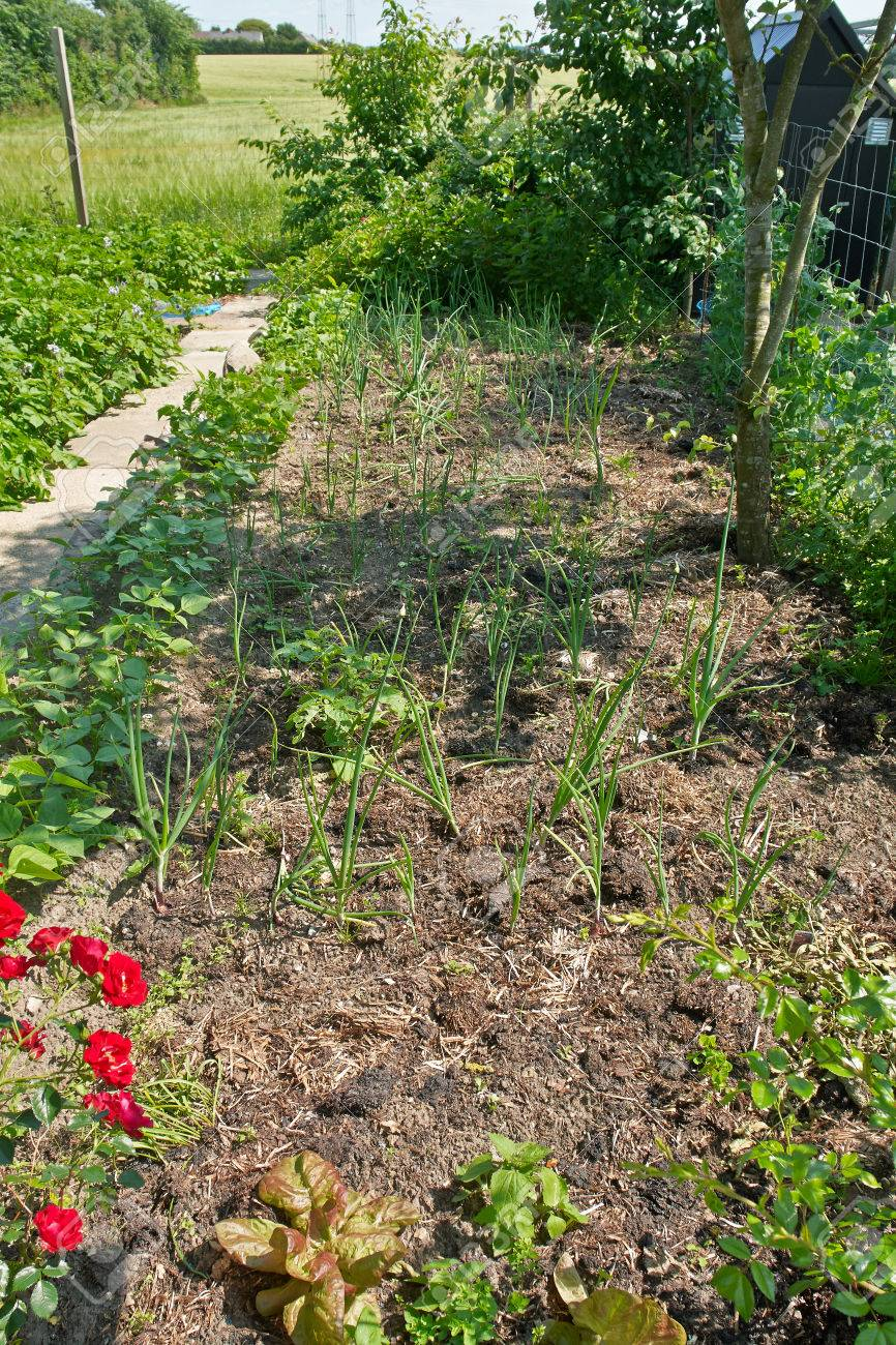 home grown organic backyard vegetable garden gardening background