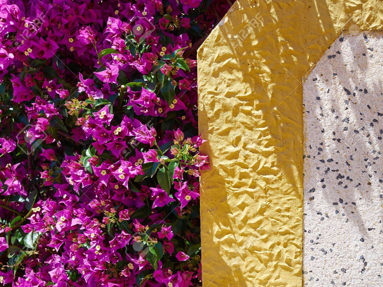 Blooming bougainvillea paper flower by a typical spanish wall stock blooming bougainvillea paper flower by a typical spanish wall stock photo 83473851 mightylinksfo