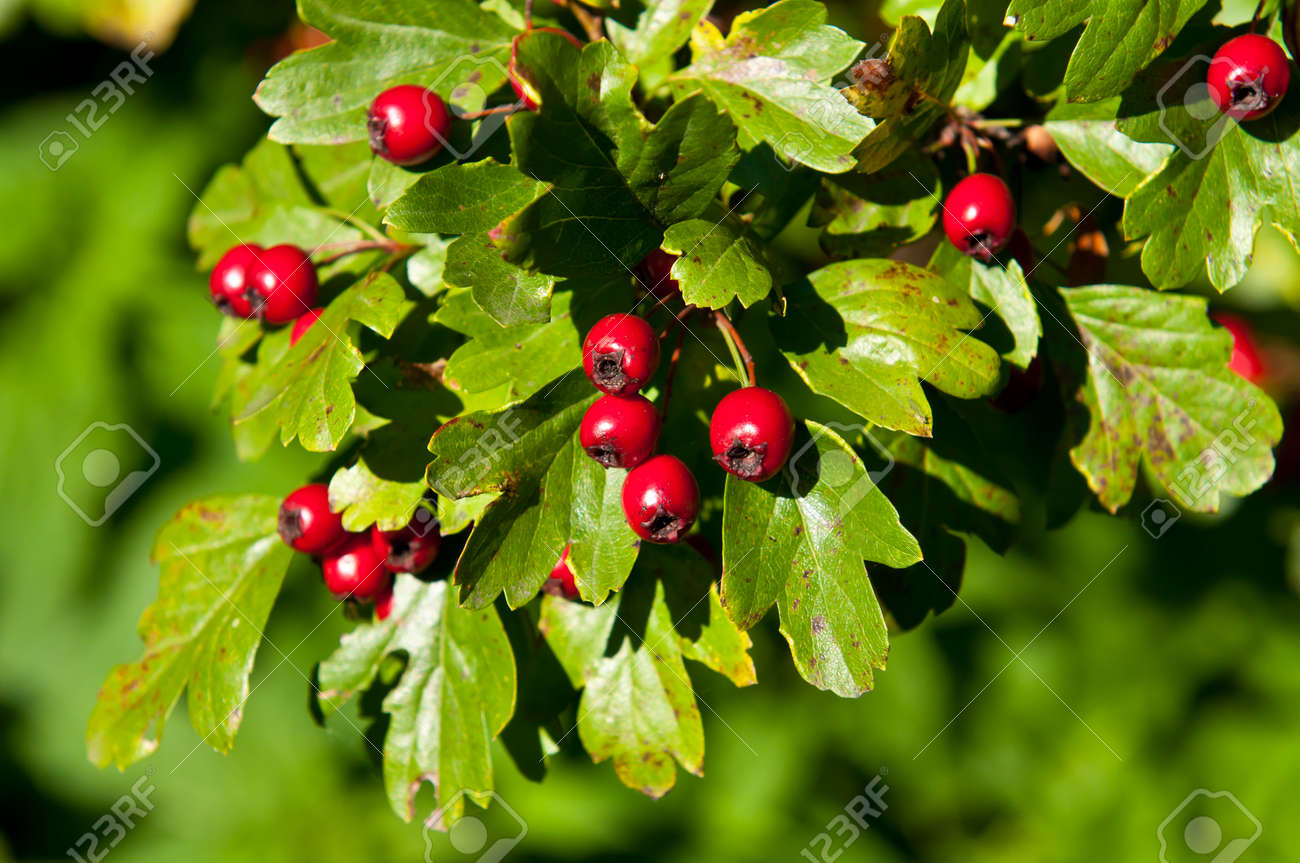 Red Berries On The Tree Green Bush With Clusters Of Red Berries